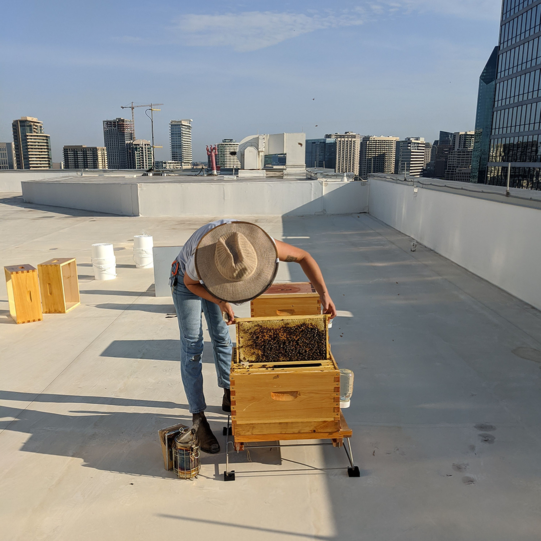 An urban beekeeper on a building's rooftop in downtown Dallas, Texas, opens a beehive with a frame full of honey and bees in her hands and the city's skyline in background